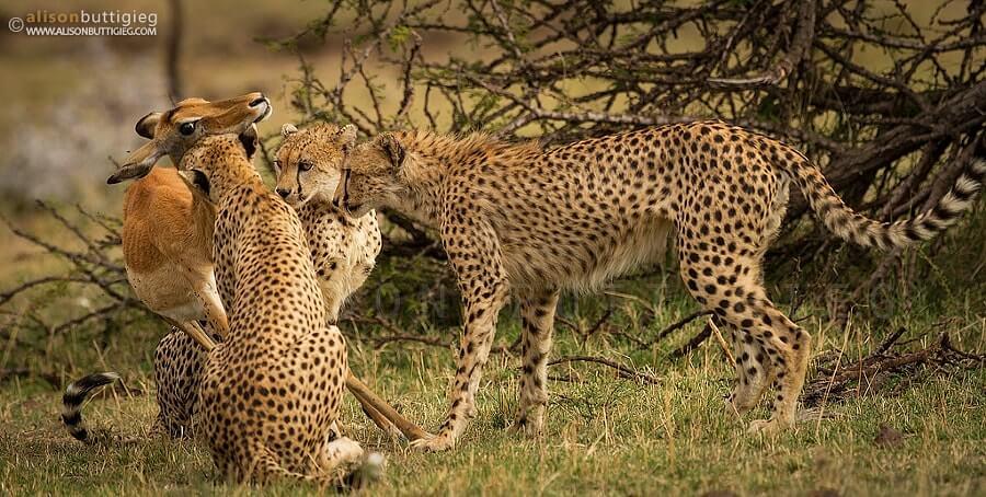 摄理新闻_母鹿被豹群攻击?_翻攝自Alison Buttigieg网页