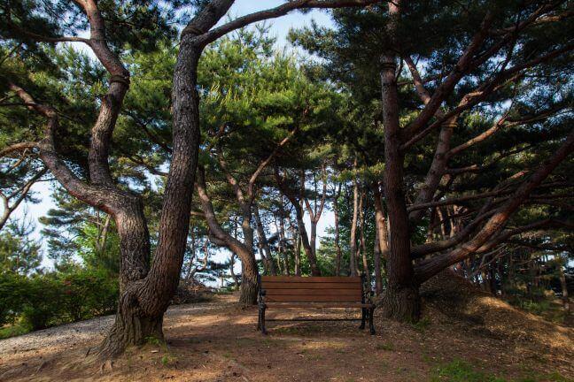 摄理月明洞松树