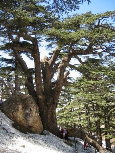 摄理新闻_黎巴嫩香柏木_上帝森林