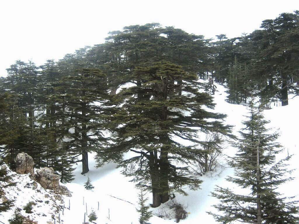 摄理新闻_黎巴嫩香柏树_上帝森林