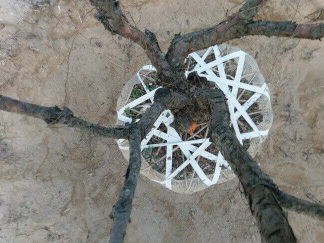 攝理月明洞_移植松树方法_不能压到树干