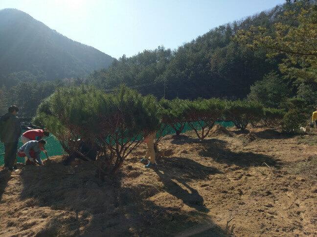 攝理月明洞_移植松树方法_养树林