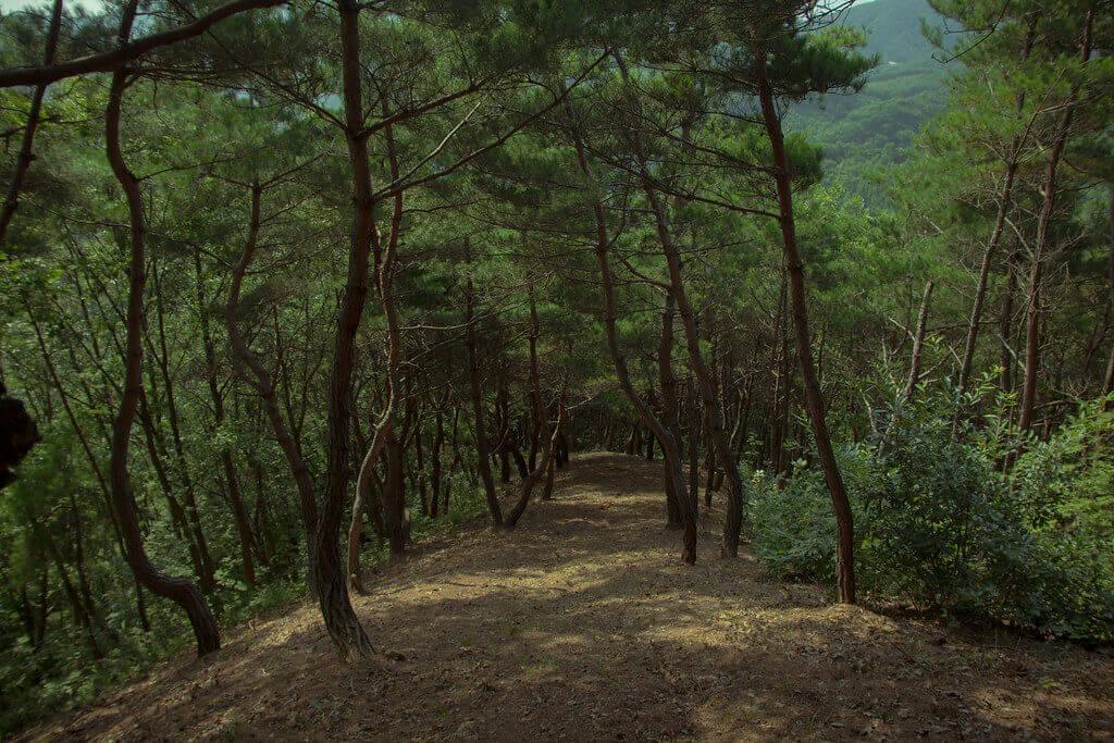 攝理月明洞_移植松树方法_树林
