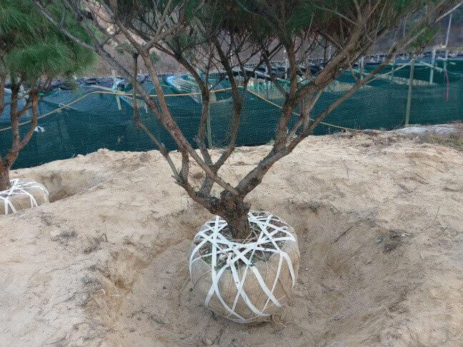 攝理月明洞_移植松树方法_绑绷带