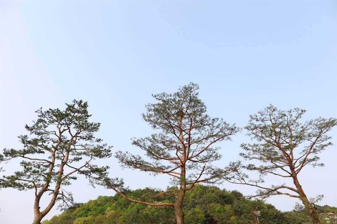 摄理月明洞_宴会厅装潢_松树剪枝