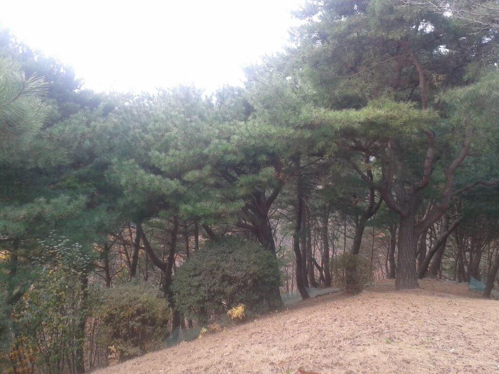 摄理月明洞_松树成长为巨木