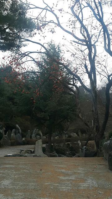 摄理月明洞_匾额石上方柿子树