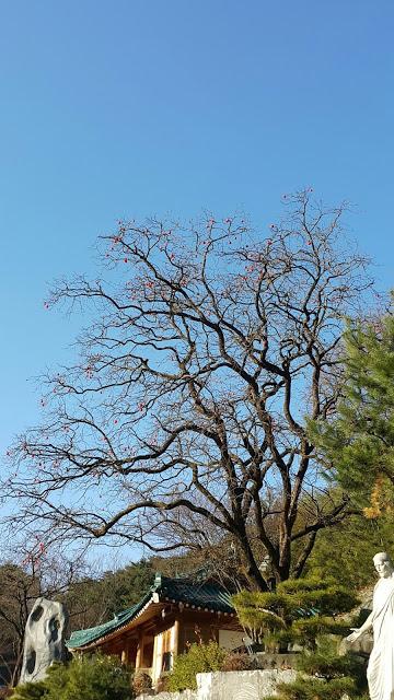 摄理月明洞_青瓦屋旁柿子树