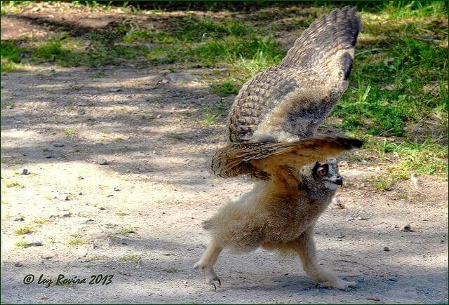摄理新闻_成长中的雕鸮